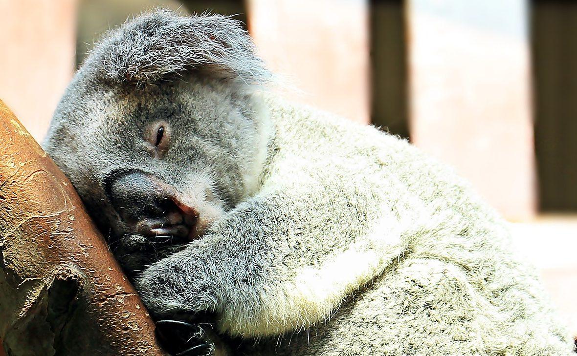 fáradt koala
